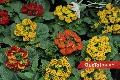 Flores Rojas y Amarillas.