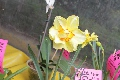 Narciso Amarillo.