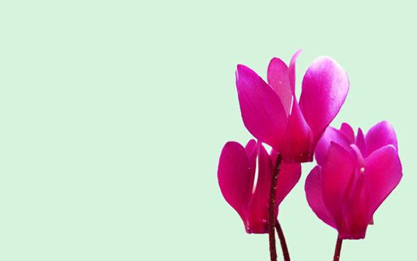 Flores que sobreviven al frío, perfectas para tu jardín